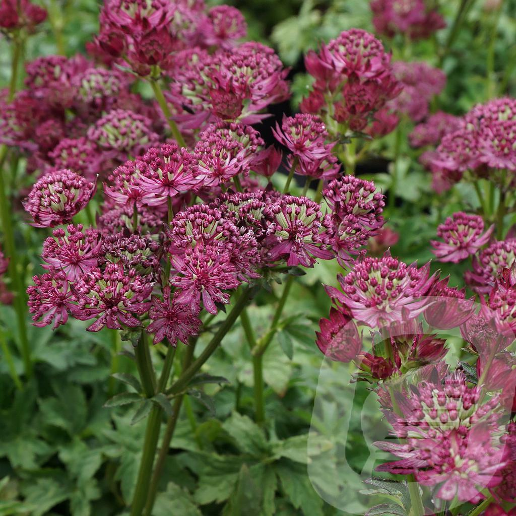 Astrantia 'Star of Beauty'®