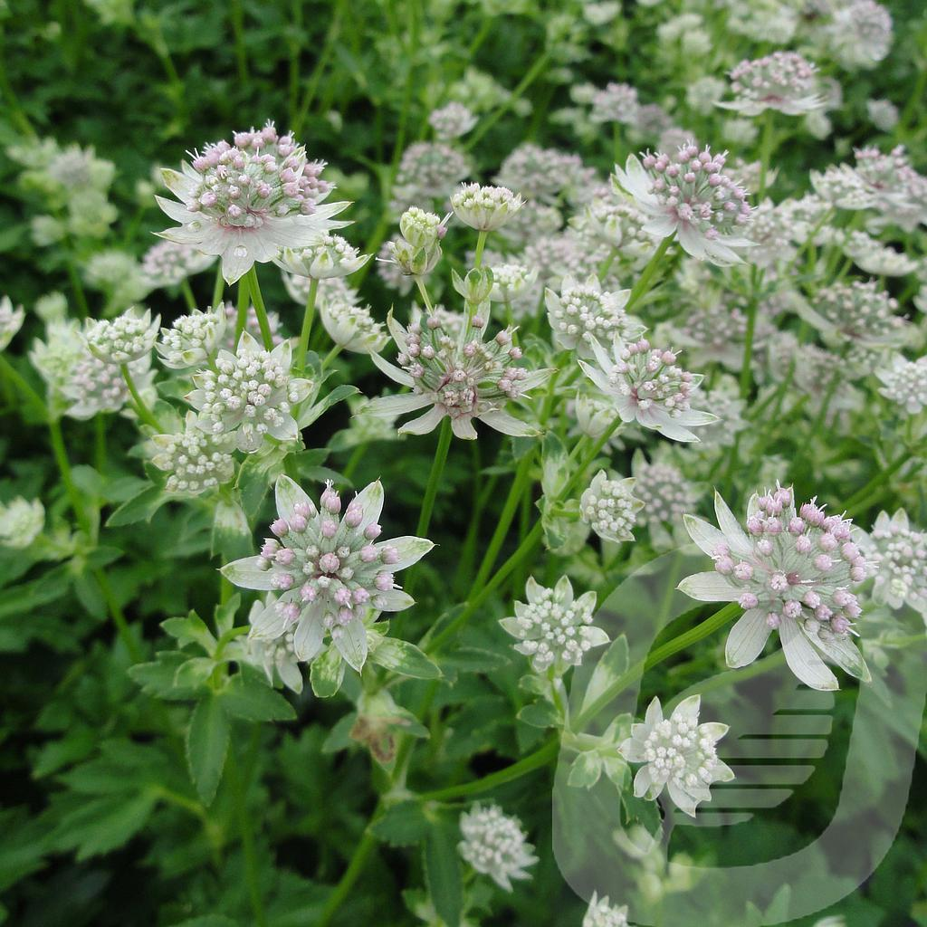 Astrantia 'Star of Billion'®