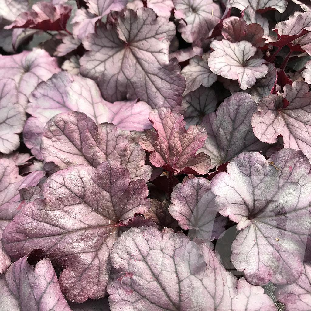 Heuchera 'Huckleberry'®
