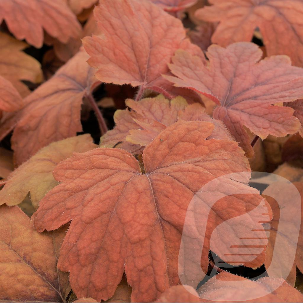 Heucherella 'Sweet Tea'®
