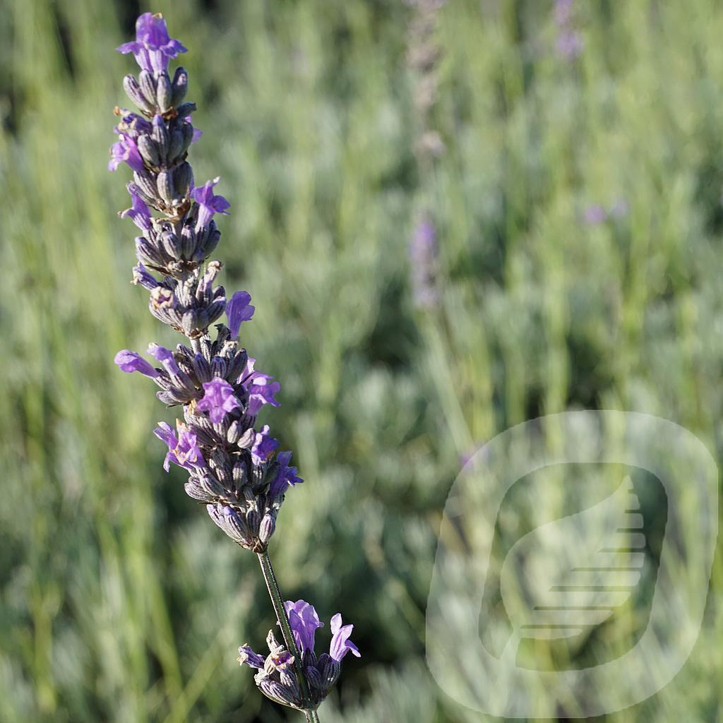 Lavandula int. 'Dutch'