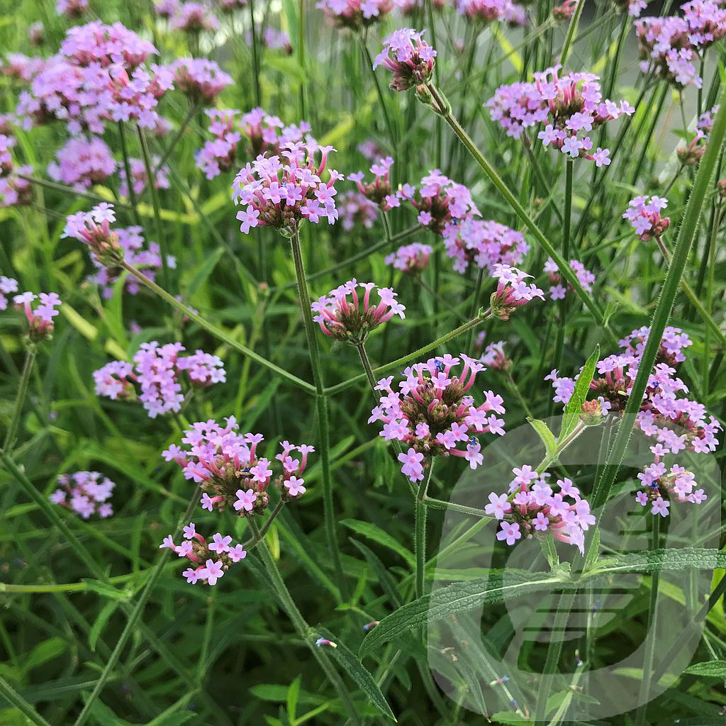 Verbena 'Lollipop'®